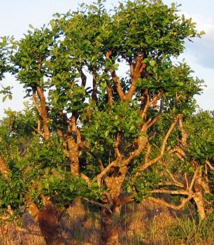 Cesmína paraguayská pěstování